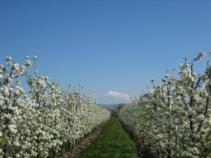 Frutta in fiore prunotto