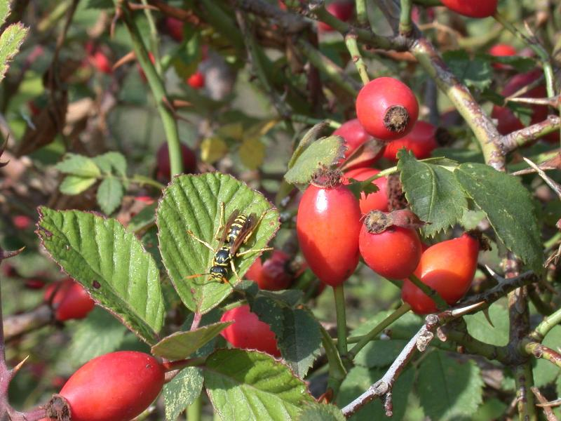 rose hip pictures