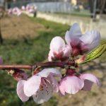 Le Mele e le Pere in fiore