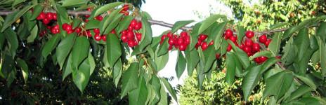 Le nostre prime ciliegie