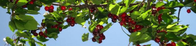 The cherries !!!!!
