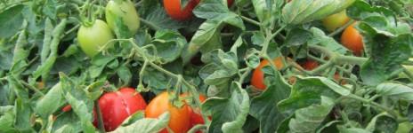 … tomato update ….