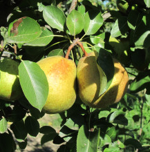 El Paisanot Pear Antipasto